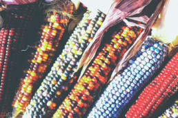 Indian decorative corn at the UCI nursery