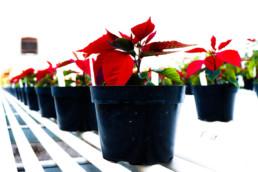 Poinsettias in pots